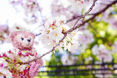 荒子観音の桜とシェリーメイ