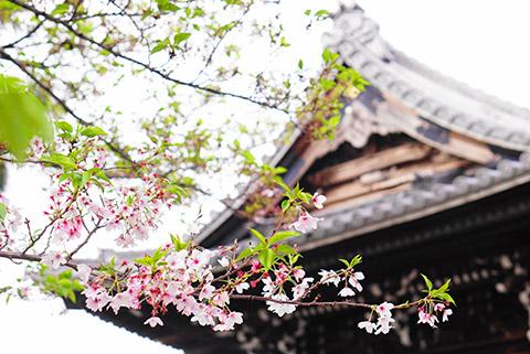 葉桜だけどきれい