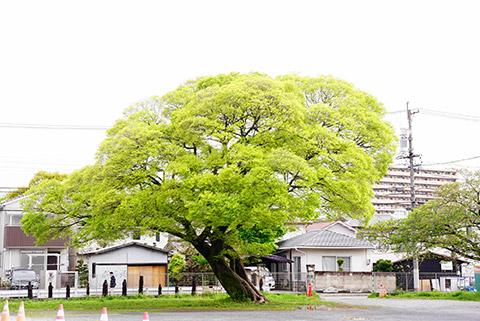 荒子観音敷地内の大木