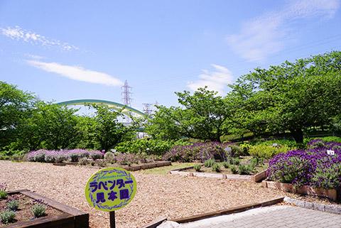 荒子川公園のラベンダー園