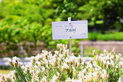 荒子川公園の白いラベンダー