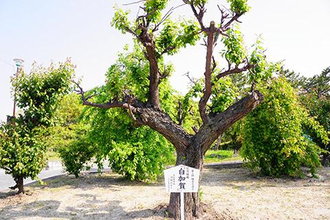 名古屋市長が植えた梅の木