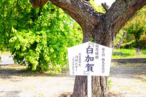 河村名古屋市長が植えた梅の木