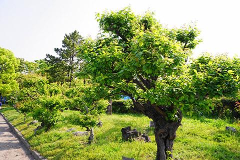 あおあおとした梅の木