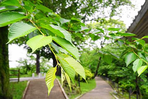 岡崎公園 入り口近辺の桜の木