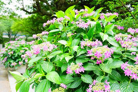 荒子川公園の紫陽花