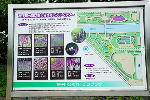 種類いろいろな荒子川公園のラベンダー