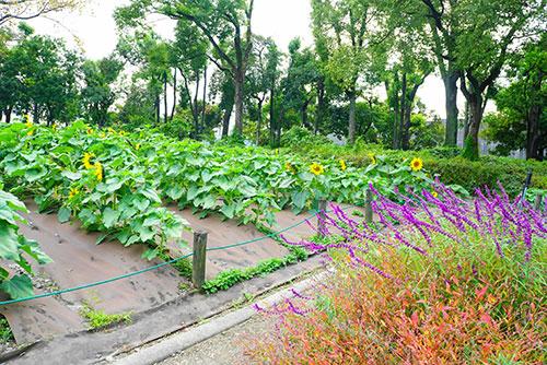 名古屋市港区の荒子川公園の空きのひまわり