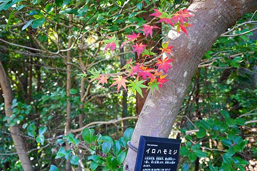 名古屋の東山植物園のきれいな色合いのいろはもみじ