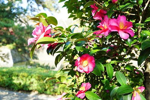 城南亭の椿の花