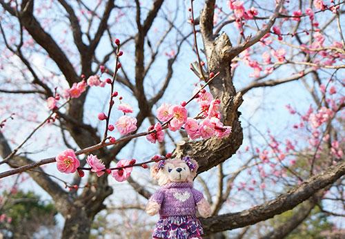 岡崎南公園の梅の花