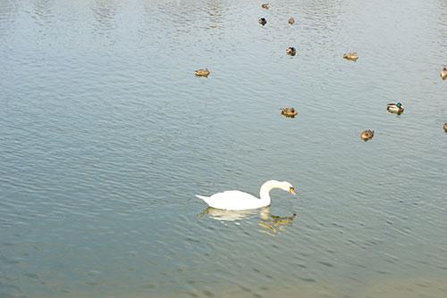 池には白鳥やかも