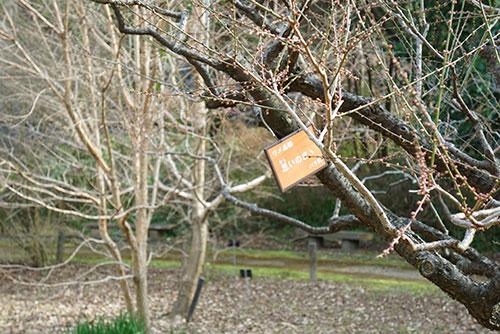 東山植物園の梅、おもいのまま