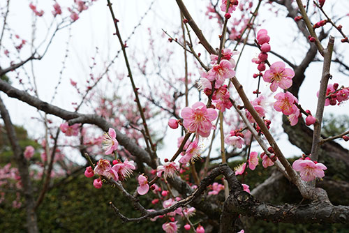 名古屋城の梅