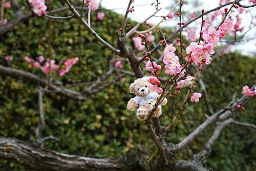 マイダッフィーと名古屋城の梅の花
