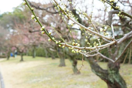 名古屋城の梅の花