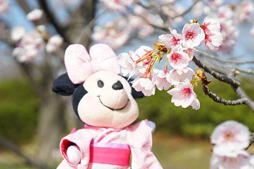 マイヌイモーズと桜