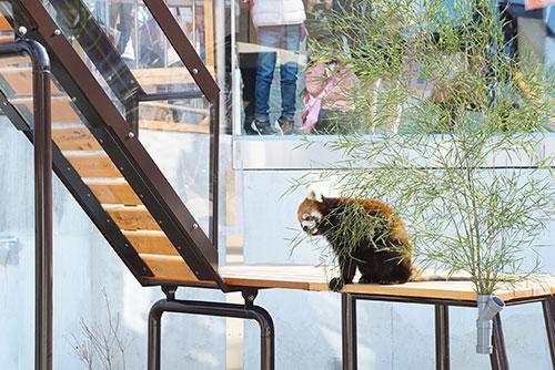 東山動物園のレッサーパンダ