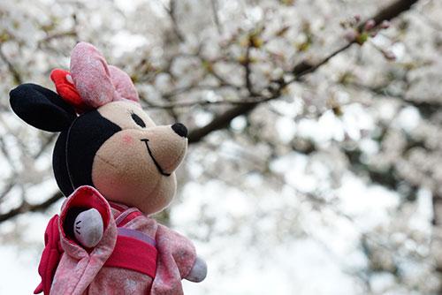 桜を眺めるマイぬいもーずミニーマウスのミニ江さん