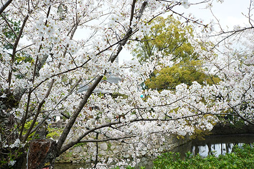 桜が満開の岡崎公園