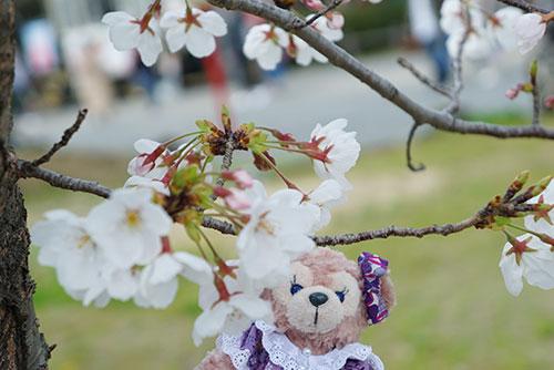 桜にうっとりするマイシェリーメイ