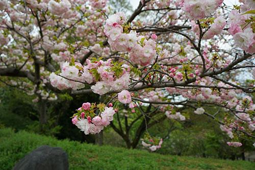 東山植物園の桜
