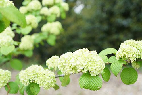 東山植物園の白い花