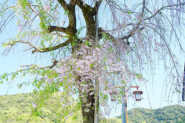 伊奈波神社近くの桜