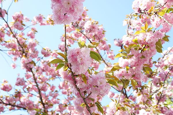 金神社の桜