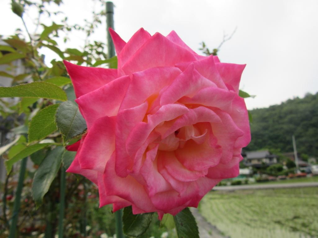 f:id:kumaninobi-chann:20180622124031j:plain