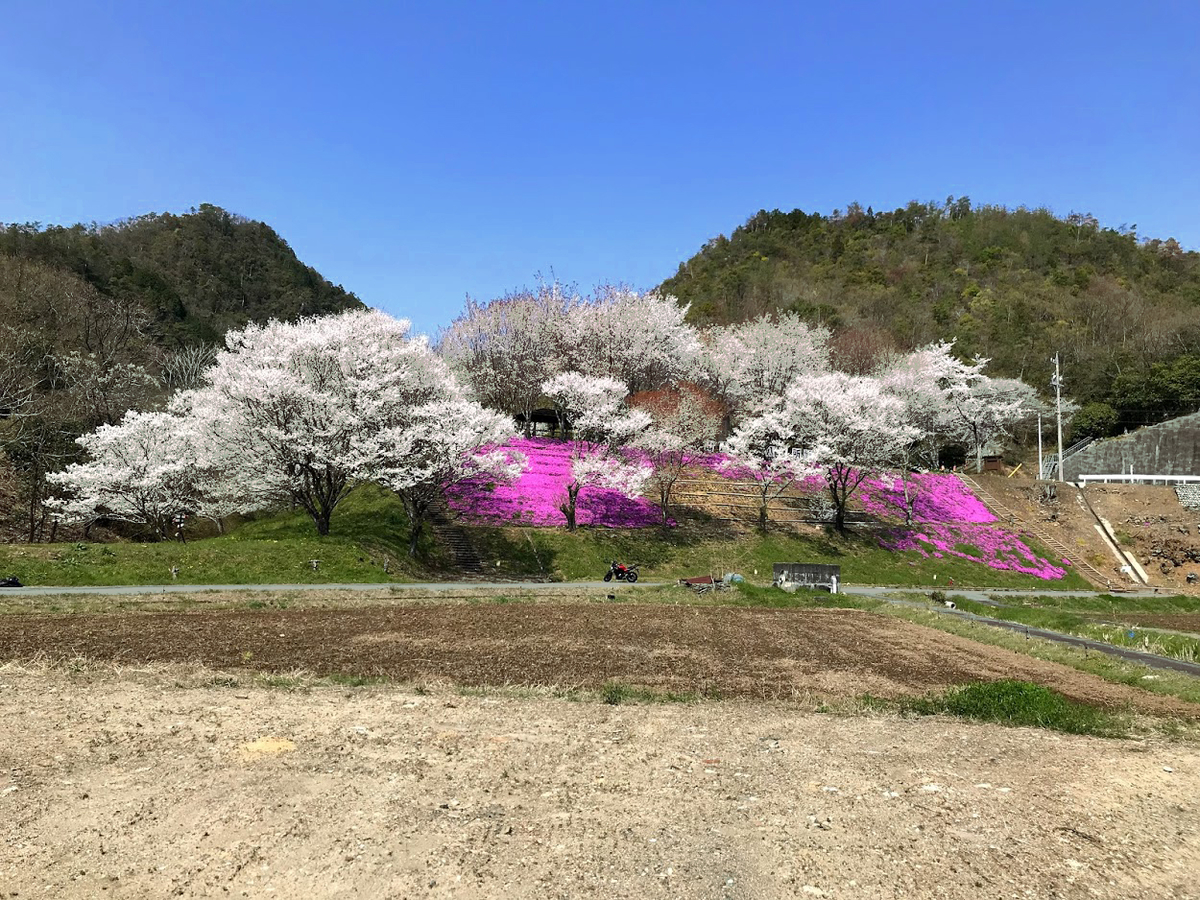 芝桜?岩桜?