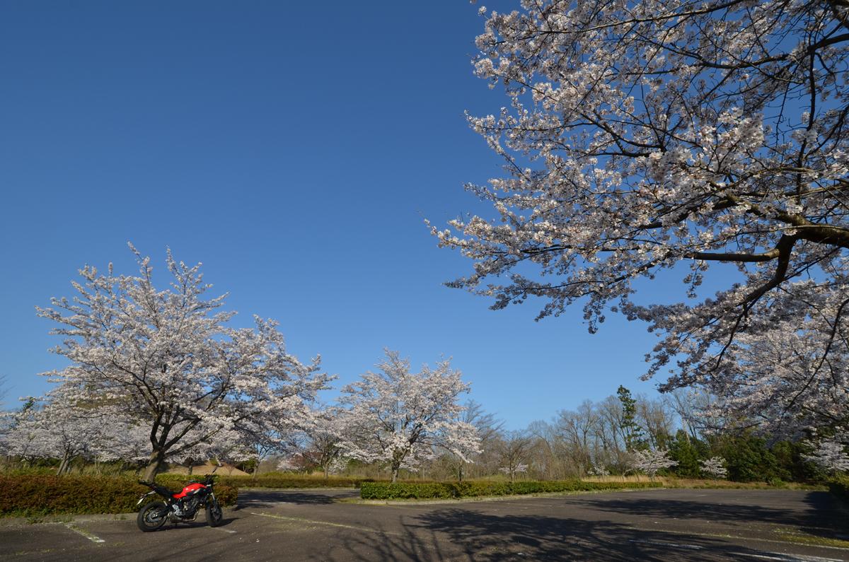 桜とMT-07