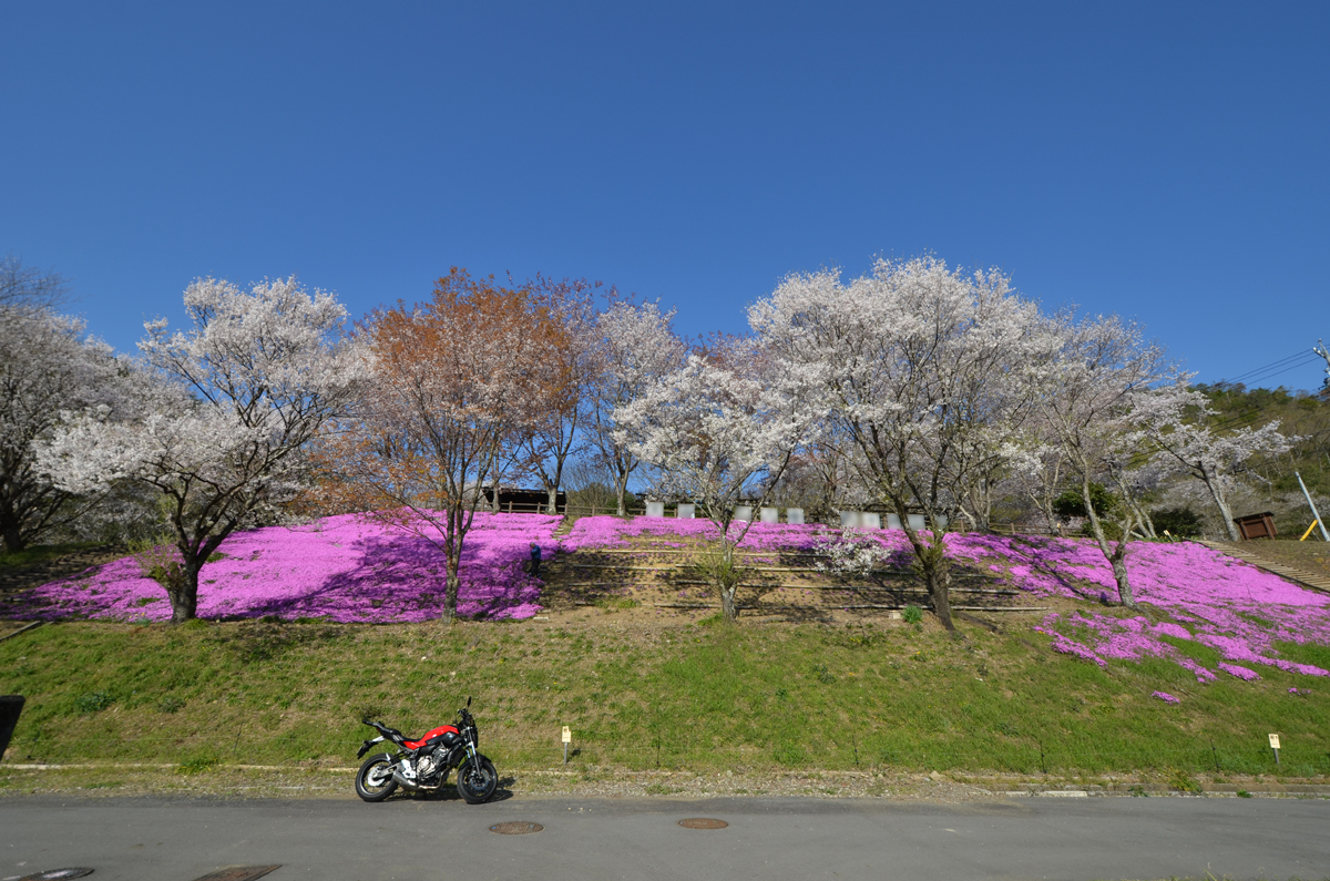 MT-07と桜