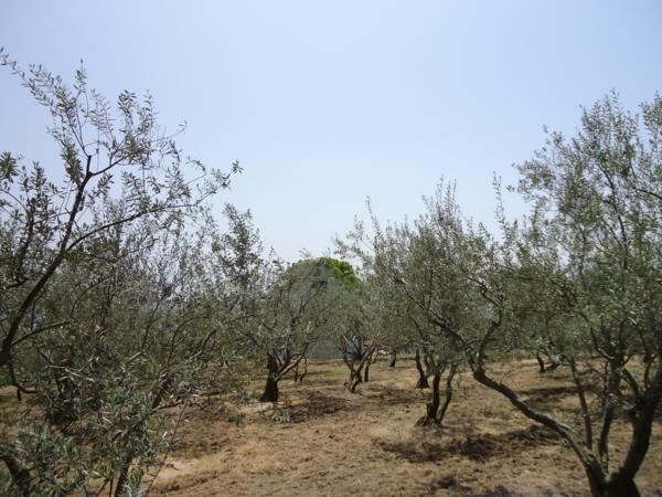 オリーブ園