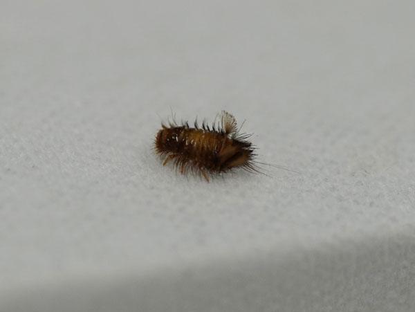 ヒメマルカツオブシムシ 幼虫