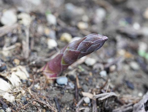アスパラガスの芽
