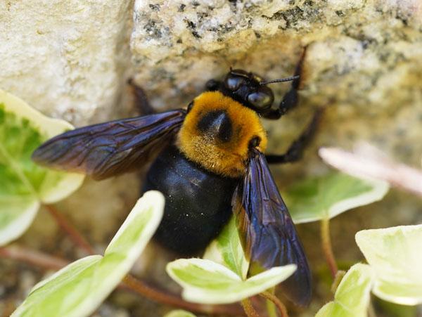 クマバチ 熊蜂
