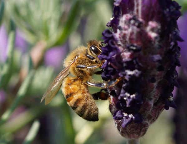 エイヨウミツバチ