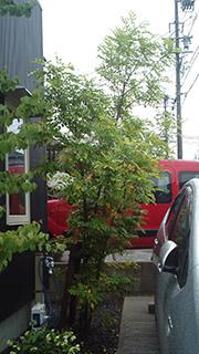 桂とシマトネリコと夏野菜の苗の画像
