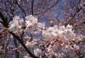 [風景]桜2018_1