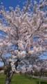 [風景]桜2018_3