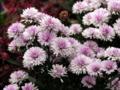 菊っぽい花 [花]