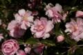 山茶花 [花]