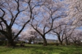 河辺グランドの桜