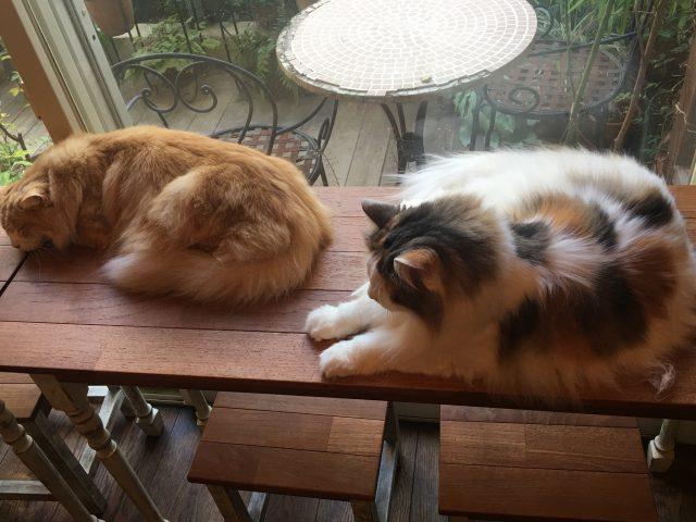 窓辺のテーブルの上で温まるねこ