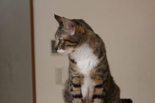 猫茶家の猫1