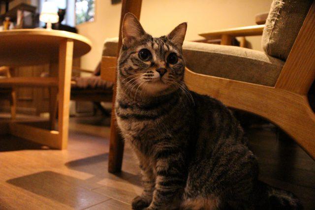 猫カフェきゃらふの猫5