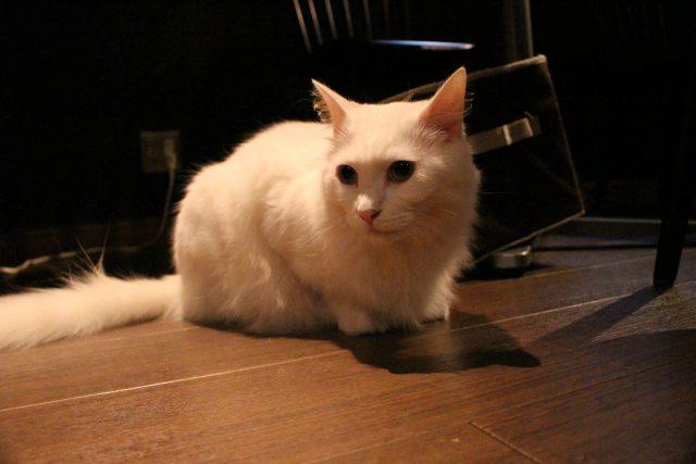 猫カフェきゃらふの猫4