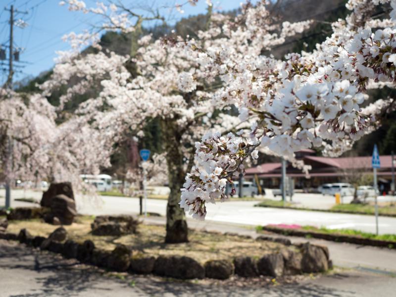 高山市朝日町の桜