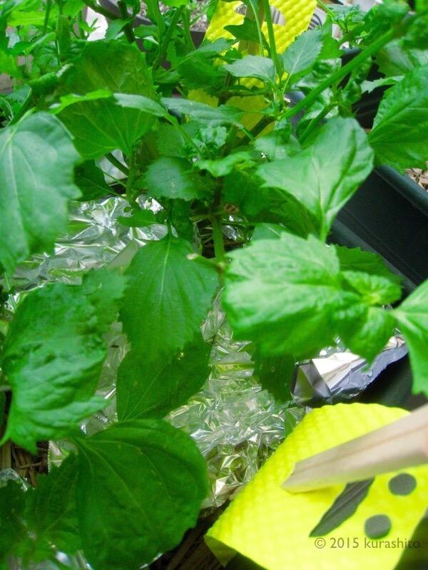 大葉の害虫、農薬を使わない対策。